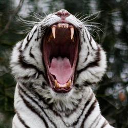 schreeuwende witte tijger